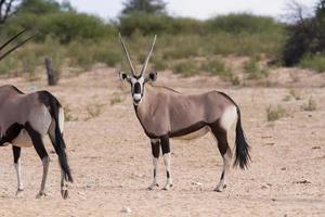 Oryxherde, die auf einer trockenen Ebene steht und aussieht