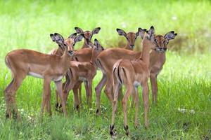 Herde weiblicher und junger Impalas foto