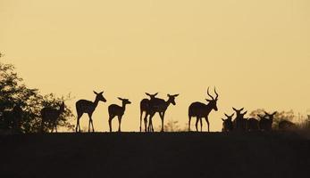 Gruppe von roten Impala foto