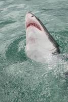 Weißer Hai durchbricht die Wasseroberfläche foto