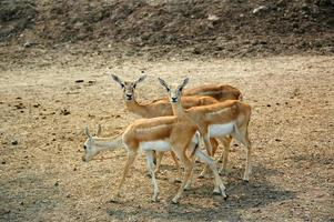 Kropfgazelle (Gazella subgutturosa)