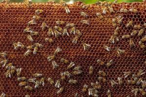 Honigbienenrahmen aus einem Bienenstock mit Koloniekollapsstörung foto