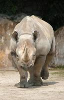 schwarzes Nashorn foto