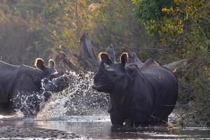 zwei größere einhörnige Nashörner in Bardia, Nepal foto