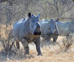 weißes Nashorn foto