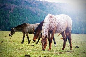 Herde von Pferden Natur apalloosa westlich foto