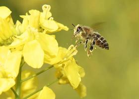 Honigbiene fliegt foto