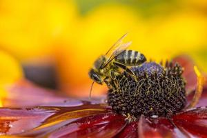 Nahaufnahmefoto einer westlichen Honigbiene foto