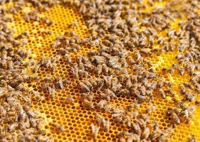 Bienen auf Waben foto