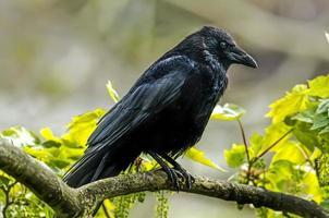 Krähe, Corvus Corone, thront auf einem Ast, ganz nah