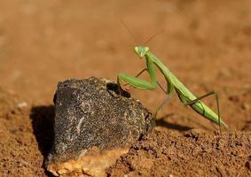 Mantis-Schießen foto