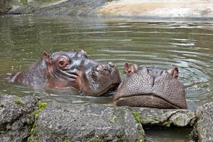 Flusspferde foto