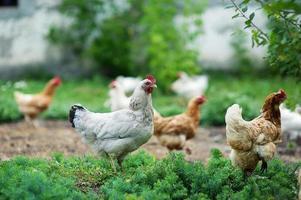 Huhn im Gras auf einem Bauernhof foto