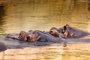 afrikanisches Nilpferd in ihrem natürlichen Lebensraum. Kenia. Afrika.