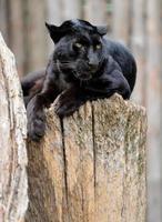 schwarzer Leopard foto