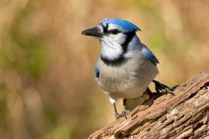 Blue Jay foto