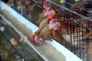Hühnerfarm foto