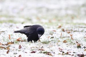 schwarze Krähe, die an einem Wintertag sucht foto