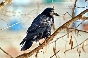 schwarze Krähe auf Zweigen eines Baumes.