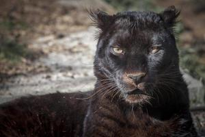 schwarzer Panther foto