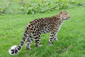 Leopard geht foto