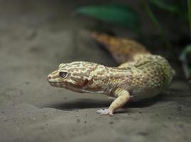 Leopardgecko foto