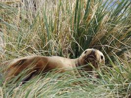 entspannende Robbe im Gras