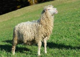 Schafe auf einer Wiese foto