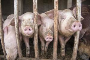 schmutzige Schweine.
