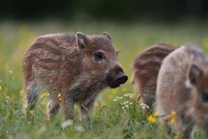Wildschweinferkel foto