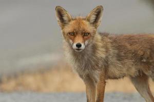 roter Fuchs