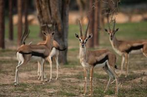 Thomson Gazelle schöne Aufstellung für ein Foto