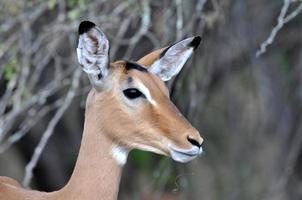 afrikanische Tierwelt: Impala-Antilope foto