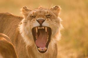 junger Löwe, der in der Morgensonne brüllt foto