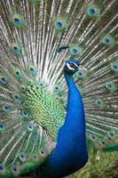 indisches Pfau mit geöffnetem Schwanz foto