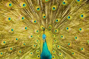 Der angezeigte Schwanz des männlichen Pfaus füllt das Bild mit goldenen Federn foto