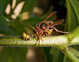 Riesenhornisse tötet Wespe