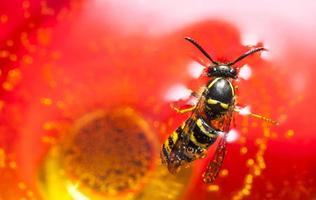 Biene oder Wespe in einem Wein ertrinken