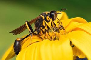 extreme Nahaufnahme einer schwarzen Wespe auf einer Blume foto