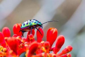 Litschischildwanze (Chrysocoris Stolli, Scutelleridae) foto