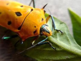 Akagi Bug foto
