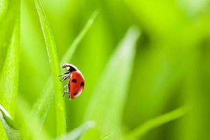 Marienkäfer läuft auf grünem Grashalm entlang foto