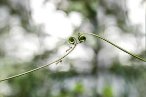 Kletterpflanze und Ameisen