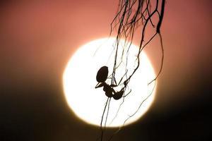 Silhouette einer hängenden Ameise mit Sonnenuntergang im Hintergrund foto
