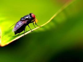 Insektenwanze