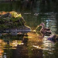 leuchtende Ente foto