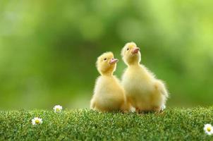 duckling zwei foto