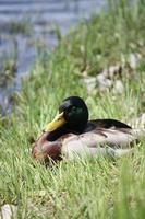 Stockente Männchen ruht auf dem grünen Ufer des Flusses Tessin foto