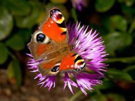 Pfau Schmetterling (Aglais Io) auf Kornblume sitzen foto