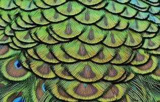 bunt von Pfauenfedern in leuchtendem für Design und Textur foto